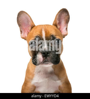 French Bulldog puppy in front of white background - Stock Photo