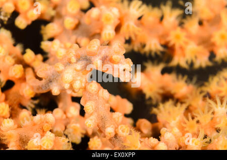 Bargibant's Pygmy seahorse, Hippocampus bargibanti, Anilao, Batangas, Philippines, Pacific - Stock Photo