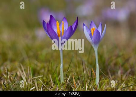 Two spring crocuses / Giant croci (Crocus vernus albiflorus) flowering in spring - Stock Photo