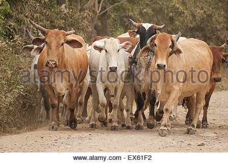 Cow Gridlock - A herd of cows walking along a dusty road in rural Mexico - Stock Photo