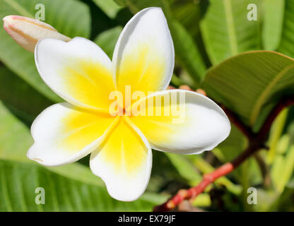 Blown white and yellow flower of magnolia close up. - Stock Photo