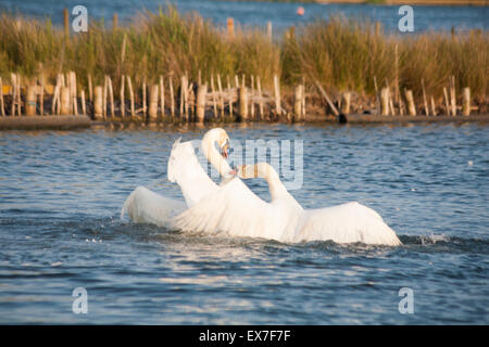 Poole, Dorset, UK 8 July 2015. Amourous swans engage in courtship ritual as they 'attack' each other with feathers - Stock Photo