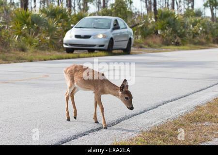 An endangered Key Deer in the National Key Deer Wildlife Reguge.  This deer walking across a road that goes through - Stock Photo