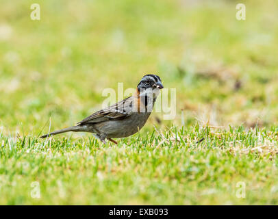 A Rufous-collared Sparrow (Zonotrichia capensis) feeding on green grass. - Stock Photo