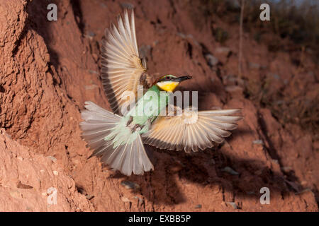 european bee eater leaving its nest - Stock Photo