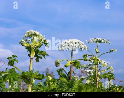 heracleum - Stock Photo