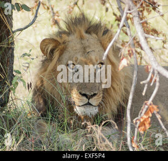 portrait of a lion resting on the ground at the Moremi Game Reserve in Botswana, Africa - Stock Photo