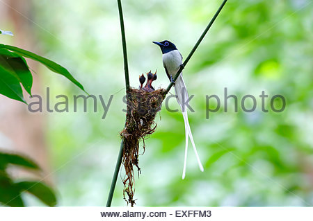 Asian paradise flycatcher Terpsiphone paradisi white morph Nest Baby - Stock Photo