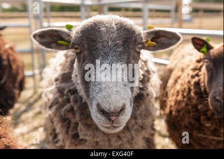 Grey and dark brown black Shetland sheep ready waiting in pen to be sheared staring and observant of what is happening - Stock Photo