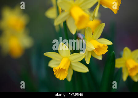 the daffodil has a strong association with Easter symbolising re-birth and new beginnings Jane Ann Butler Photography - Stock Photo