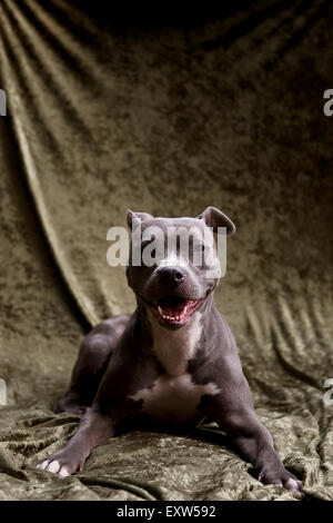 Portrait of smiling Blue Pitbull laying on lush brown backdrop facing camera with eye contact - Stock Photo