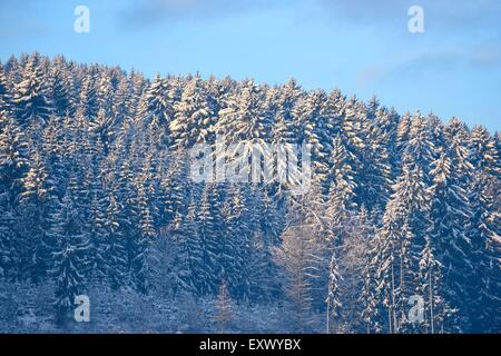 Norway spruces, Picea abies, in winter, Upper Palatinate, Bavaria, Germany, Europe - Stock Photo