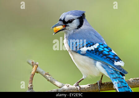 Blue Jay on Branch with Peanut in Mouth - Stock Photo