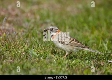 Rufous-collared Sparrow feeding - Torres del Paine NP Chile - Stock Photo