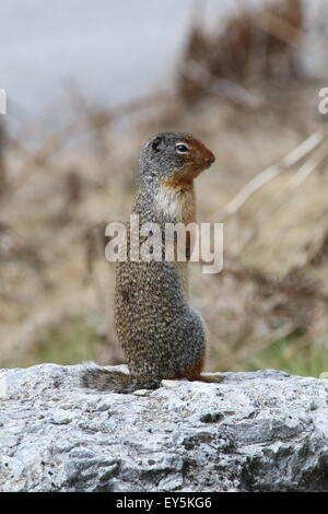 A Colubian ground squirrel in Kootenay National Park - Stock Photo