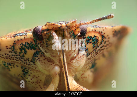(Halyomorpha halys) Brown Marmorated Stink Bug closeup. - Stock Photo