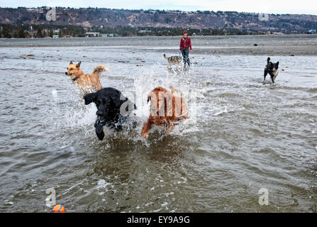 Dog sitter and a group of dogs in a 'play group' run and play at Bishop's Beach, Homer, Kenai Peninsula, Southcentral - Stock Photo