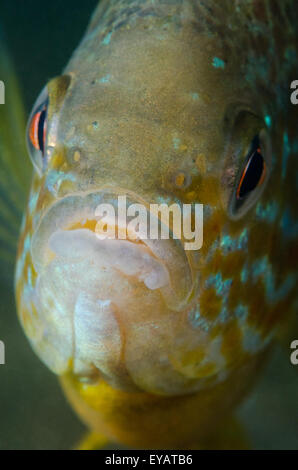 Close up of a freshwater Pumpkinseed Sunfish underwater. - Stock Photo