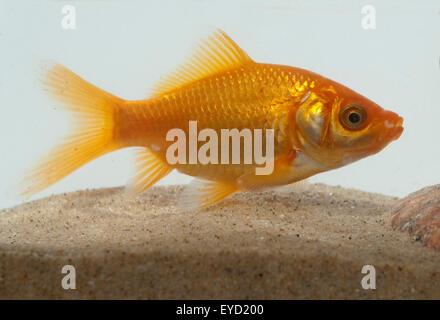Goldfisch, Carassius auratus, auratus, Karpfenfisch, - Stock Photo