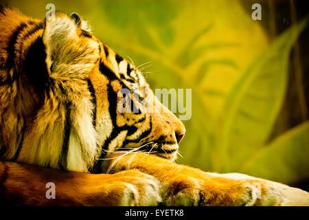 Sumatran tiger portrait - Stock Photo