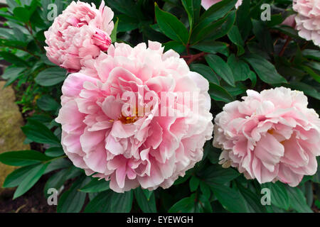 Large pink peony flowering plant in a garden. - Stock Photo