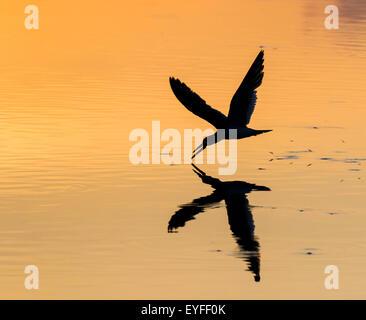 Black skimmer (Rynchops niger) hunting at sunrise in seashore, Galveston, Texas, USA. - Stock Photo