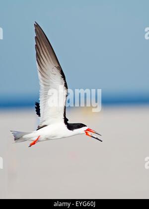 Black Skimmer in Flight over Beach - Stock Photo