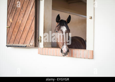 Head of horse in window of stable box on horse farm - Stock Photo