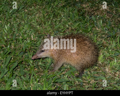 Flic en Flac, Mauritius. La Pirogue tourist resort. Tenrec looks like a hedgehog but is furry. They are not related - Stock Photo