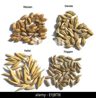 Getreidekoerner, Getreidekorn, Hafer, Weizen, Roggen, Gerste, Getreidesorte, Getreide, Getreideaehre, Getreide - Stock Photo