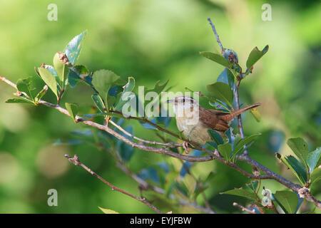 Carolina wren (Thryothorus ludovicianus) - Stock Photo