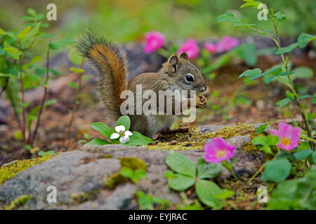 |Red Squirrel sitting on forest ground feeding - Stock Photo