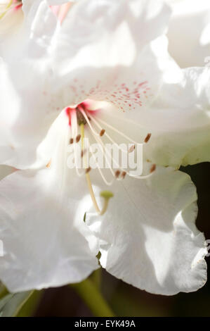 Close up of Rhododendron flower. - Stock Photo