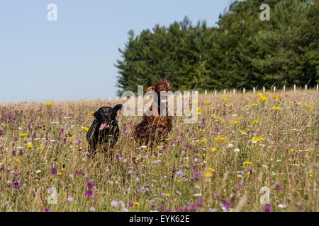 Salisbury Plain, Wiltshire, UK. 31st July, 2015. Bores, a 6 year old Irish Setter enjoying running in the wild flower - Stock Photo