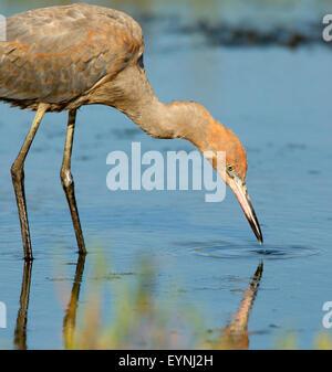 Reddish Egret Juvenile - Stock Photo
