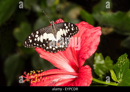 A Citrus Swallowtail butterfly resting - Stock Photo