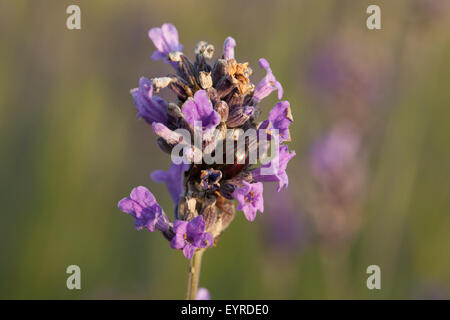 Rosemary Beetle (Chrysolina americana) amongst buds on lavender flower head. Spotted at Nutfield Marsh in August - Stock Photo