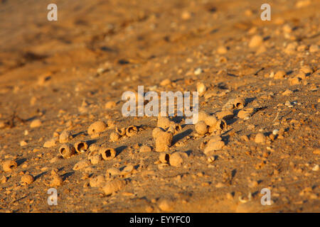 Common Central European flower bee (Anthophora acervorum, Anthophora plumipes), subfossil nests lying in the dunes, - Stock Photo