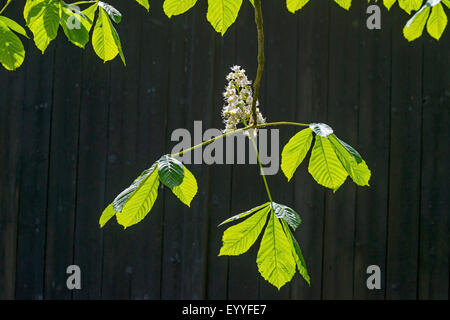 common horse chestnut (Aesculus hippocastanum), flowering horse chestnut in front of a barn door, Germany, North - Stock Photo