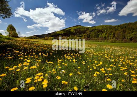 blooming dandelion meadow near Bruchhausen, Germany, North Rhine-Westphalia, Sauerland, Olsberg - Stock Photo