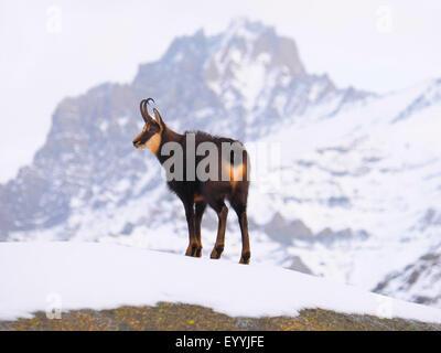 chamois (Rupicapra rupicapra), in snowy mountain scenery, Italy, Gran Paradiso National Park - Stock Photo