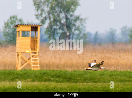 great bustard (Otis tarda), great bustard in flight, Austria, Burgenland, Andau - Stock Photo