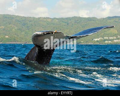 humpback whale (Megaptera novaeangliae), tail fin, Dominican Republic, Samana - Stock Photo