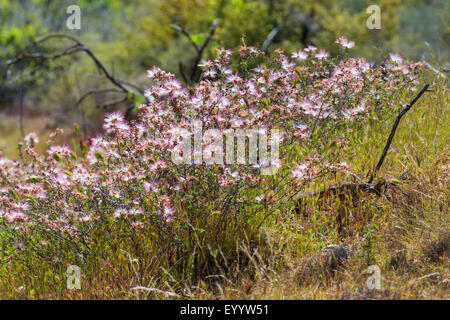 Fairy Duster (Calliandra eriophylla), blooming shrub, USA, Arizona, Sonoran - Stock Photo