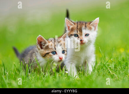 domestic cat, house cat (Felis silvestris f. catus), two six weeks old kittens in a meadow, Germany - Stock Photo