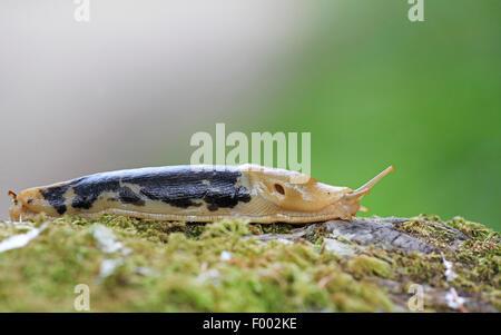 Pacific banana slug, giant yellow slug (Ariolimax columbianus), slug creeping on a mossy tree stem, Canada, Vancouver - Stock Photo