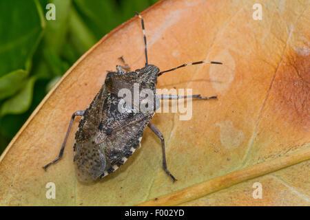 Brown marmorated stink bug (Halyomorpha halys), sitting on a leaf, Switzerland - Stock Photo