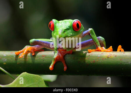 red-eyed treefrog, redeyed treefrog, redeye treefrog, red eye treefrog, red eyed frog (Agalychnis callidryas), on - Stock Photo