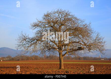 walnut (Juglans regia), walnut tree in winter, Germany - Stock Photo