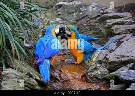 Blue and yellow macaw, Blue and gold Macaw, Blue-and-gold Macaw, Blue-and-yellow Macaw (Ara ararauna), pair - Stock Photo